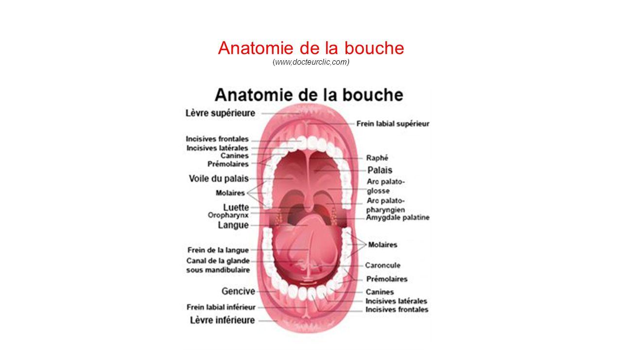 Anatomie Bouche anatomie et physiologie de l'appareil digestif - ppt video online