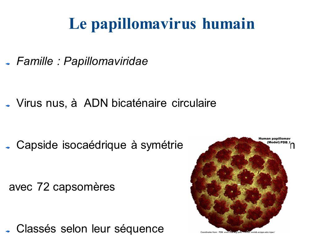 papillomavirus humain famille
