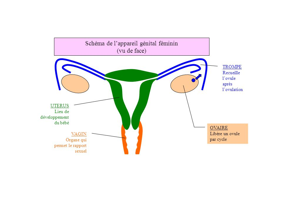 sexe féminin le sexe de bébé