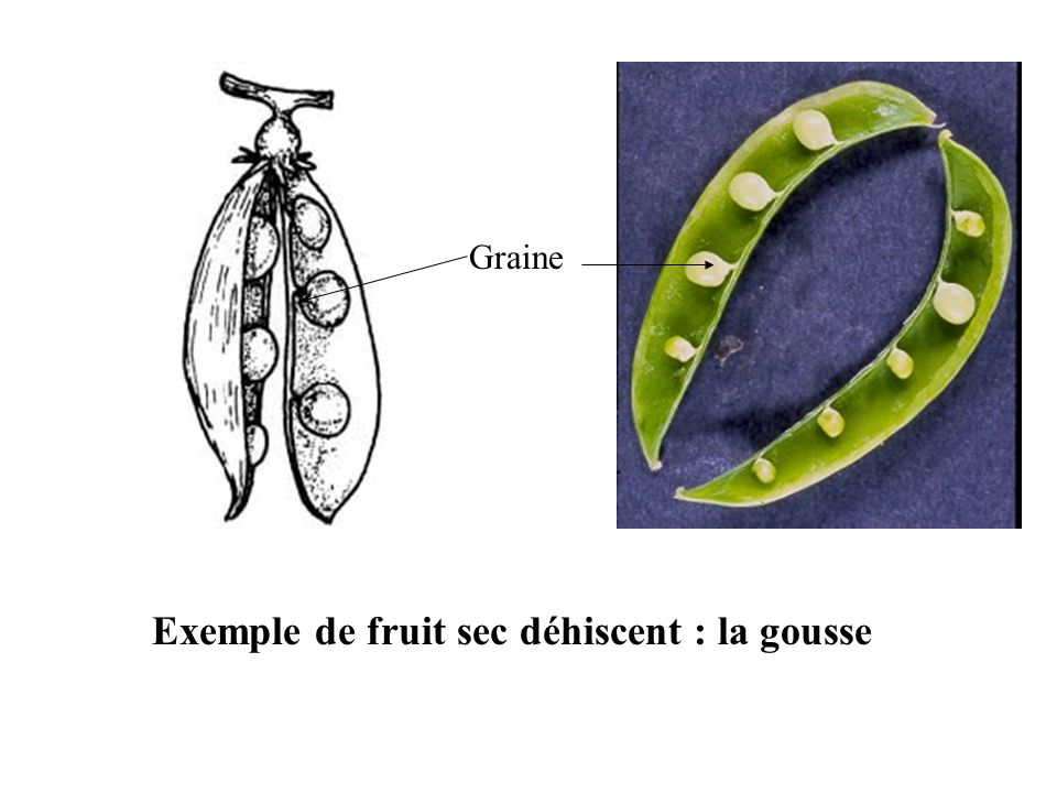 Exemple de fruit sec déhiscent : la gousse