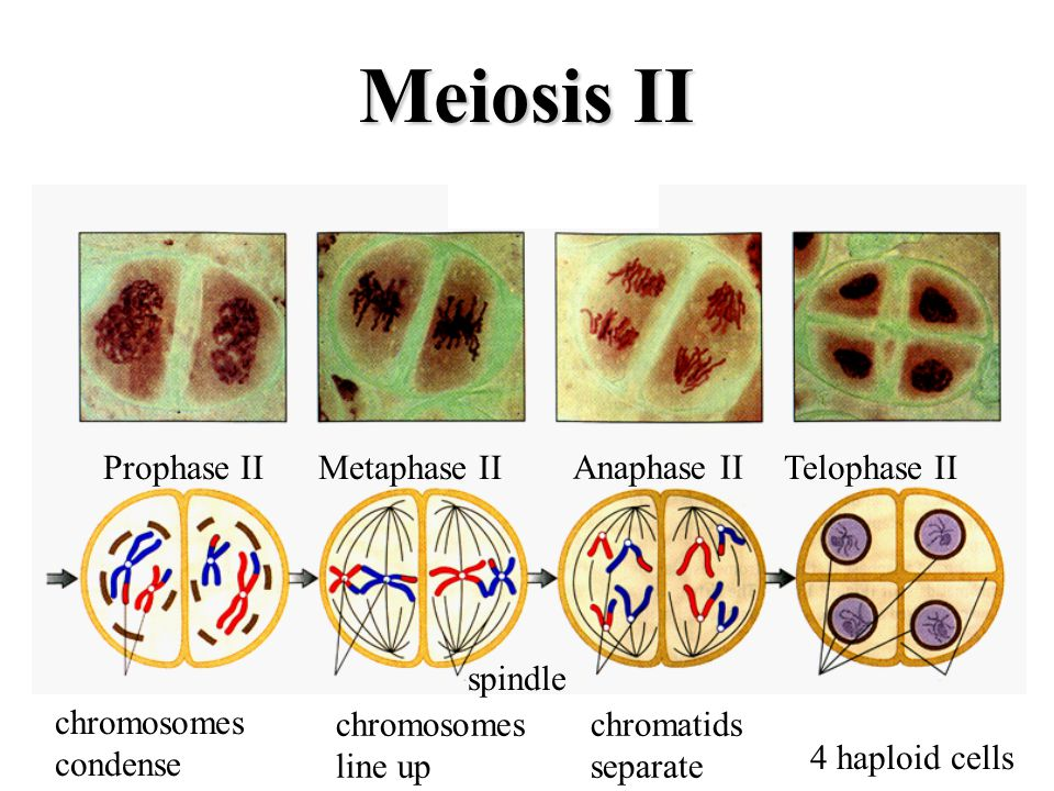 Meiosis II Prophase II Metaphase II Anaphase II Telophase II spindle