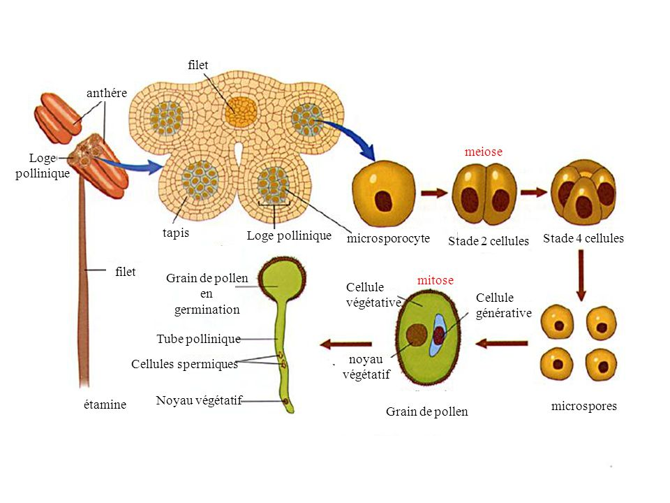 meiose anthére. filet. tapis. Loge pollinique. microsporocyte. Stade 2 cellules. Stade 4 cellules.