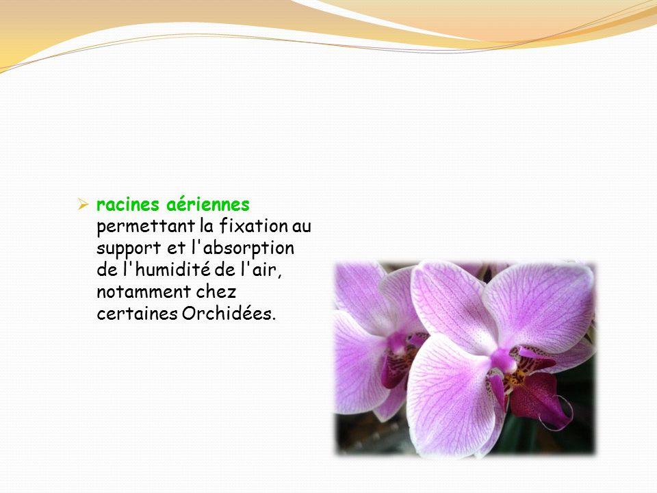 Orchidée Racines à L Air Libre : la racine ppt video online t l charger ~ Nature-et-papiers.com Idées de Décoration