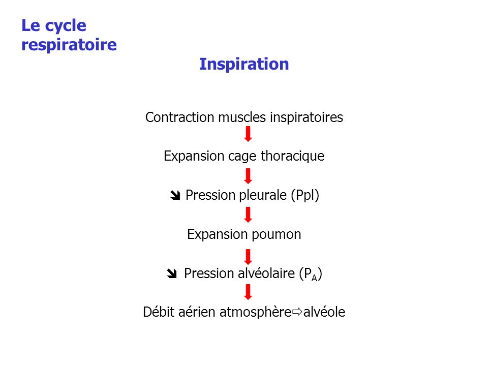 Le cycle respiratoire Inspiration Contraction muscles inspiratoires