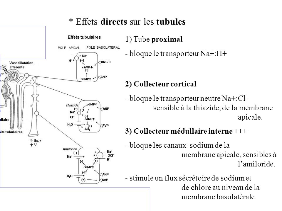 * Effets directs sur les tubules 1) Tube proximal