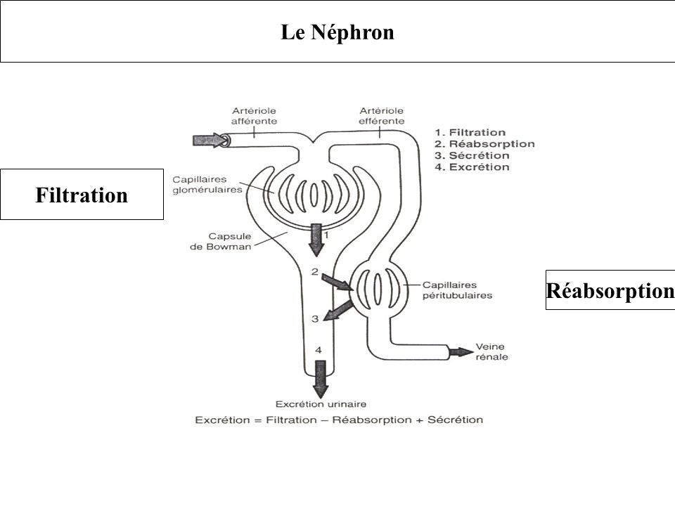 Le Néphron Filtration Réabsorption