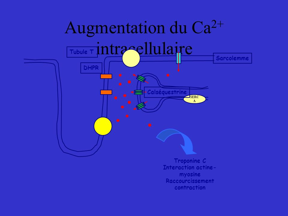 Augmentation du Ca2+ intracellulaire