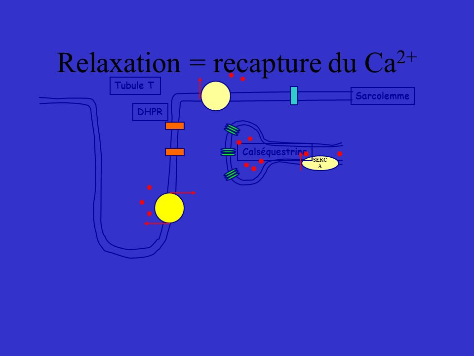 Relaxation = recapture du Ca2+