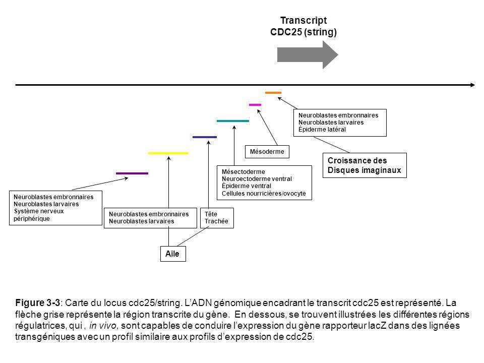 table 3 1 organisme stade d activation transcriptionnelle du g nome ppt video online t l charger. Black Bedroom Furniture Sets. Home Design Ideas
