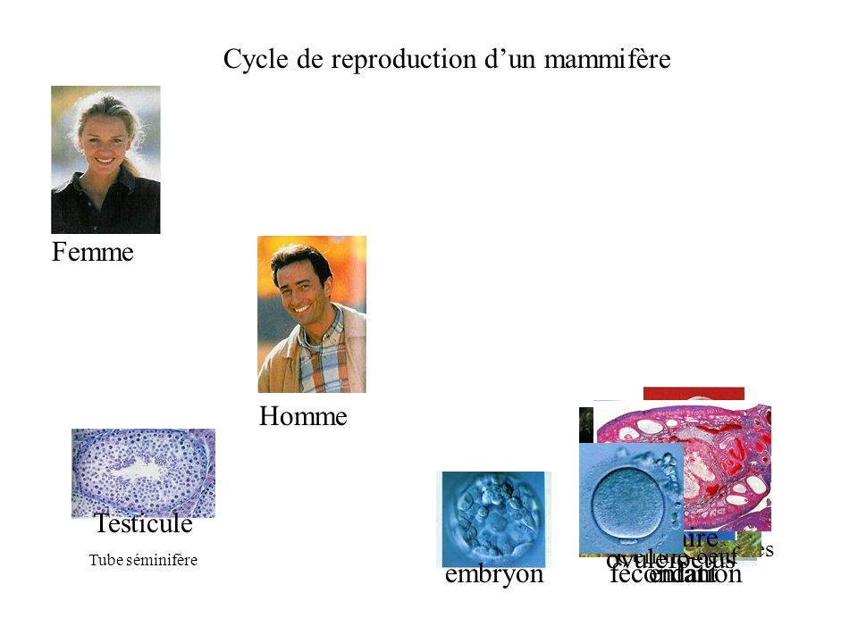 Cycle de reproduction d'un mammifère