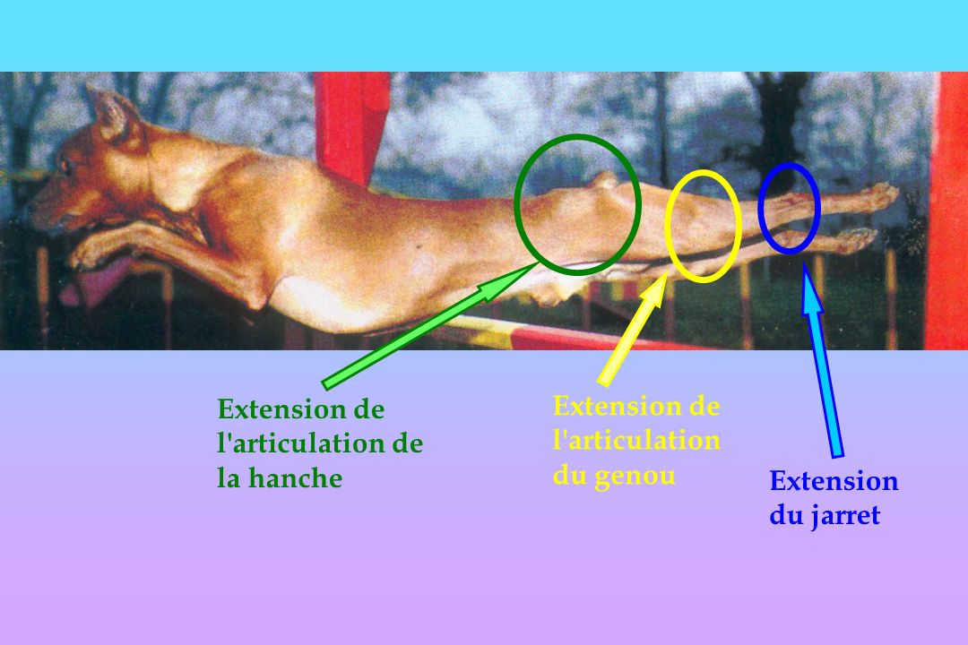 Extension de l articulation de la hanche