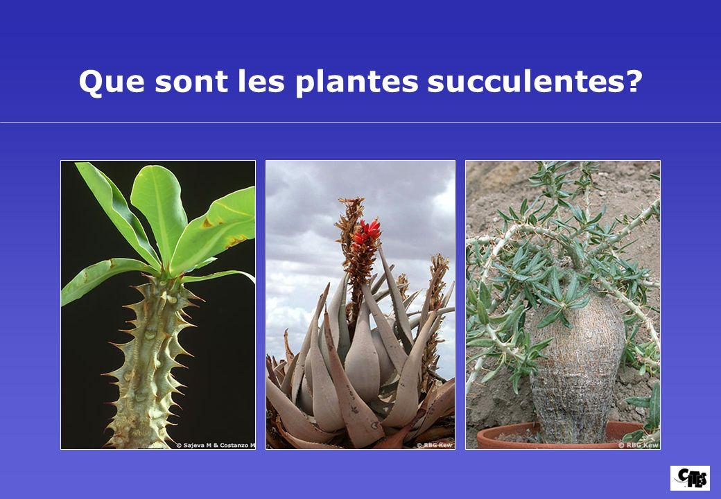 ** Le toujours Verte Aloe Aloe lutescens appartient à chaque Cactus jardin!