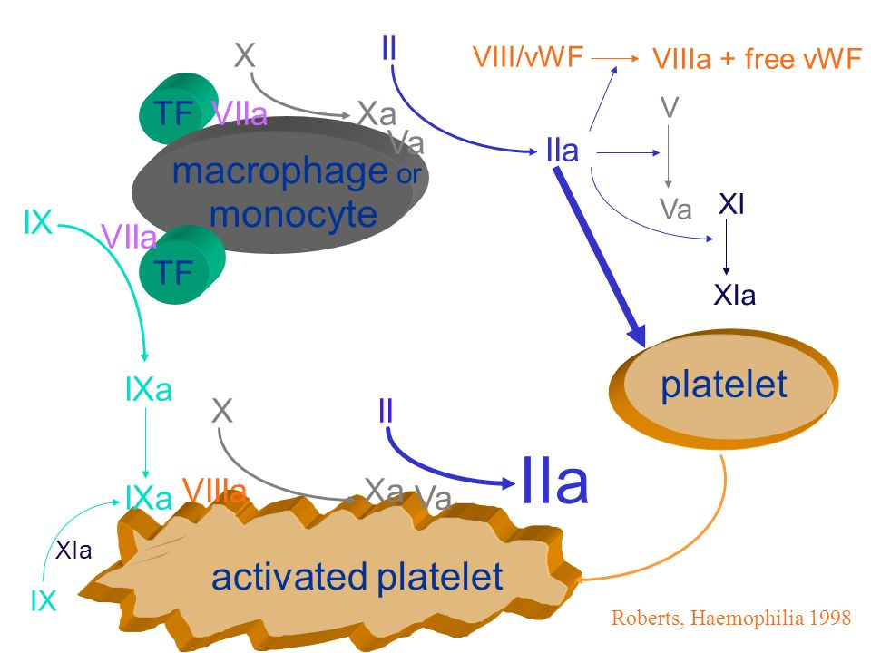 IIa macrophage or monocyte platelet activated platelet II X TF VIIa Xa