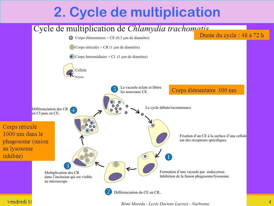 2. Cycle de multiplication