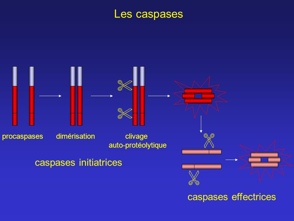 caspases initiatrices