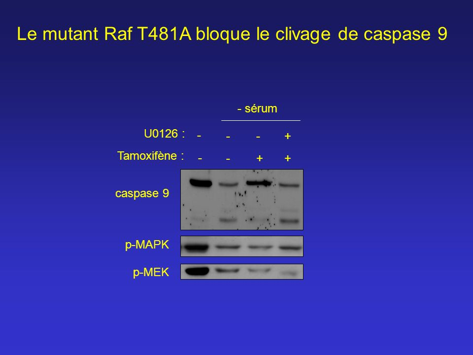 Le mutant Raf T481A bloque le clivage de caspase 9