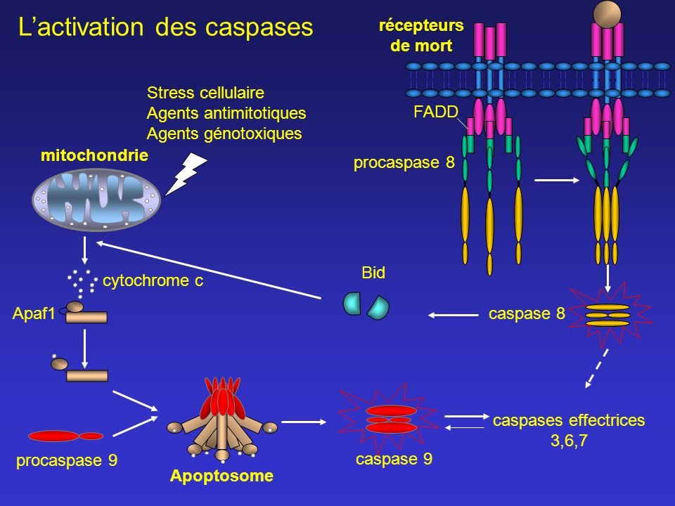L'activation des caspases
