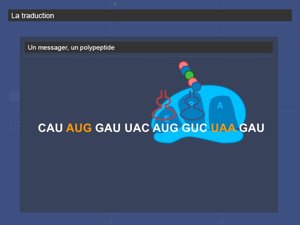 CAU AUG GAU UAC AUG GUC UAA GAU