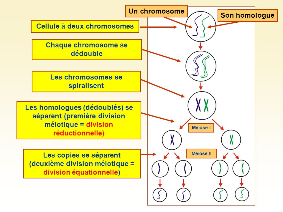 Cellule à deux chromosomes