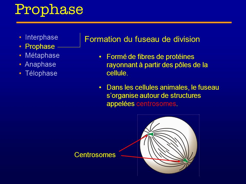 Prophase Formation du fuseau de division Interphase Prophase Métaphase