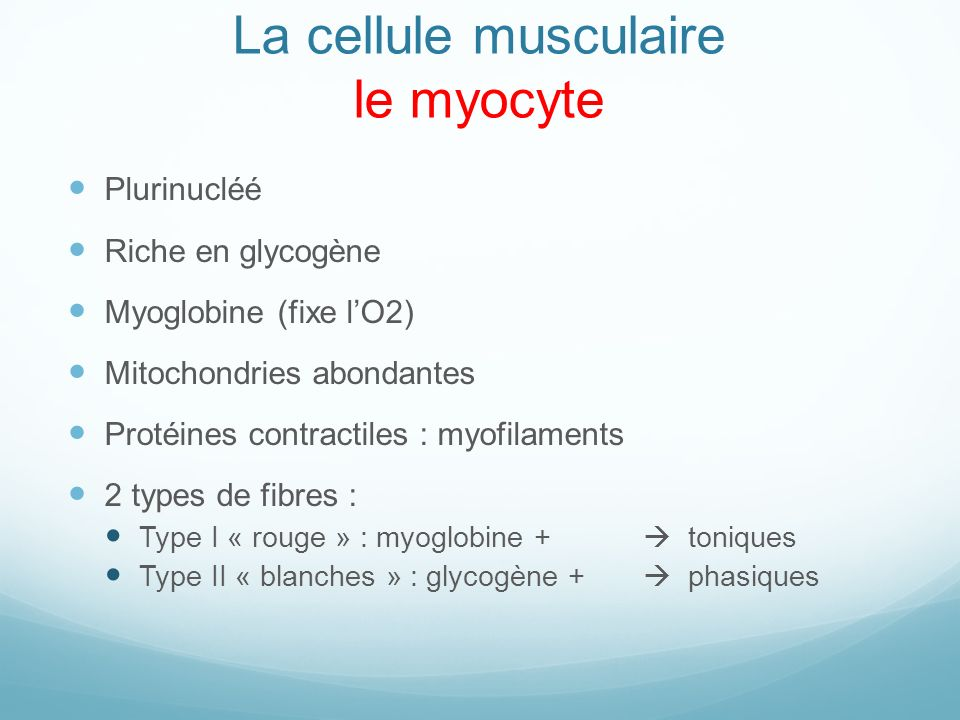 La cellule musculaire le myocyte