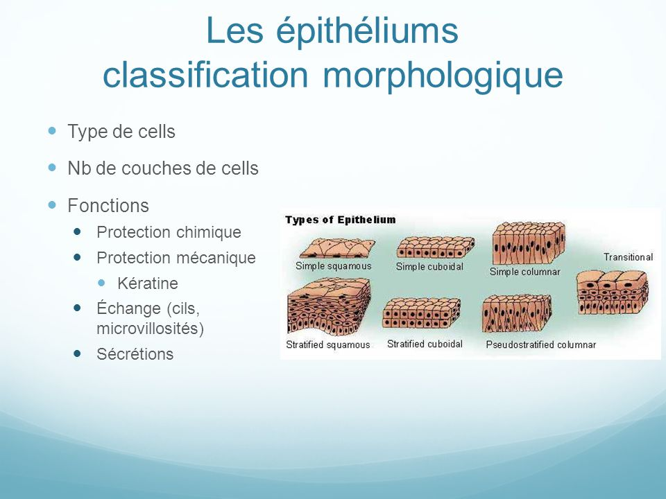 Les épithéliums classification morphologique