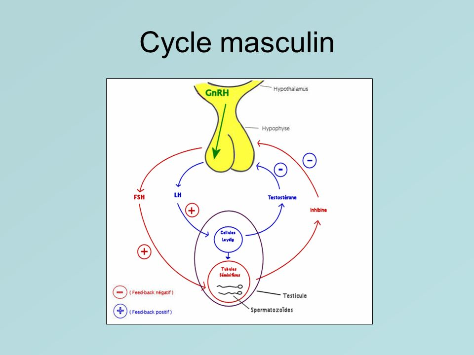 Cycle masculin