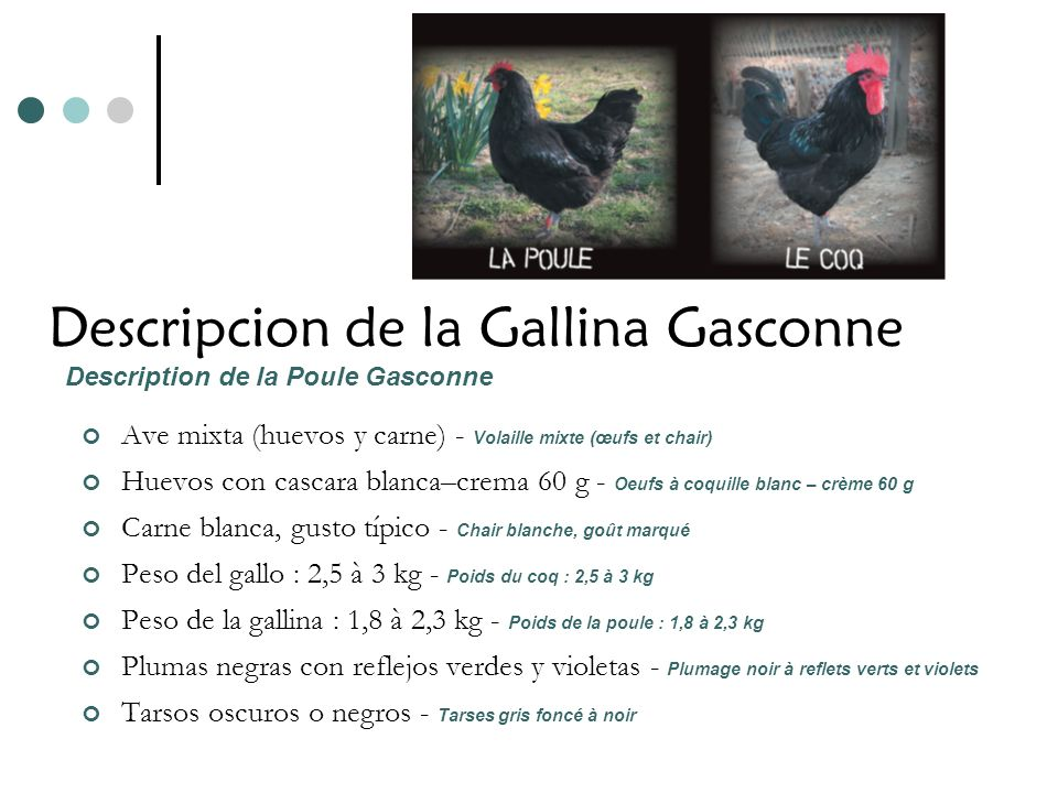 Descripcion de la Gallina Gasconne