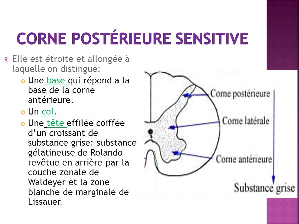 corne postérieure sensitive