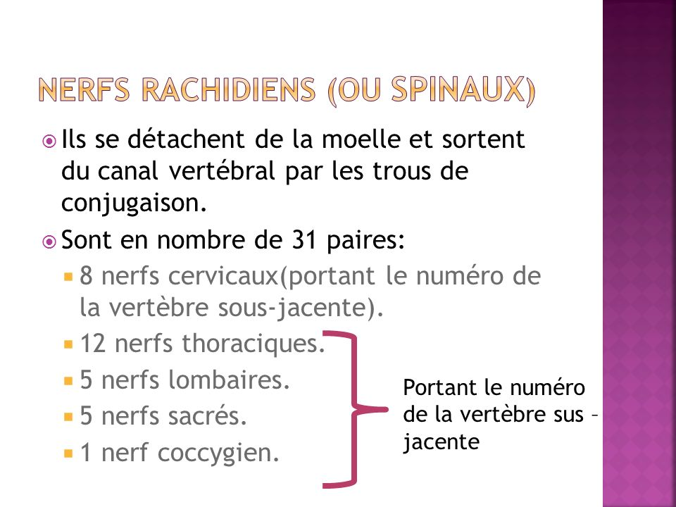 NERFS RACHIDIENS (ou SPINAUX)