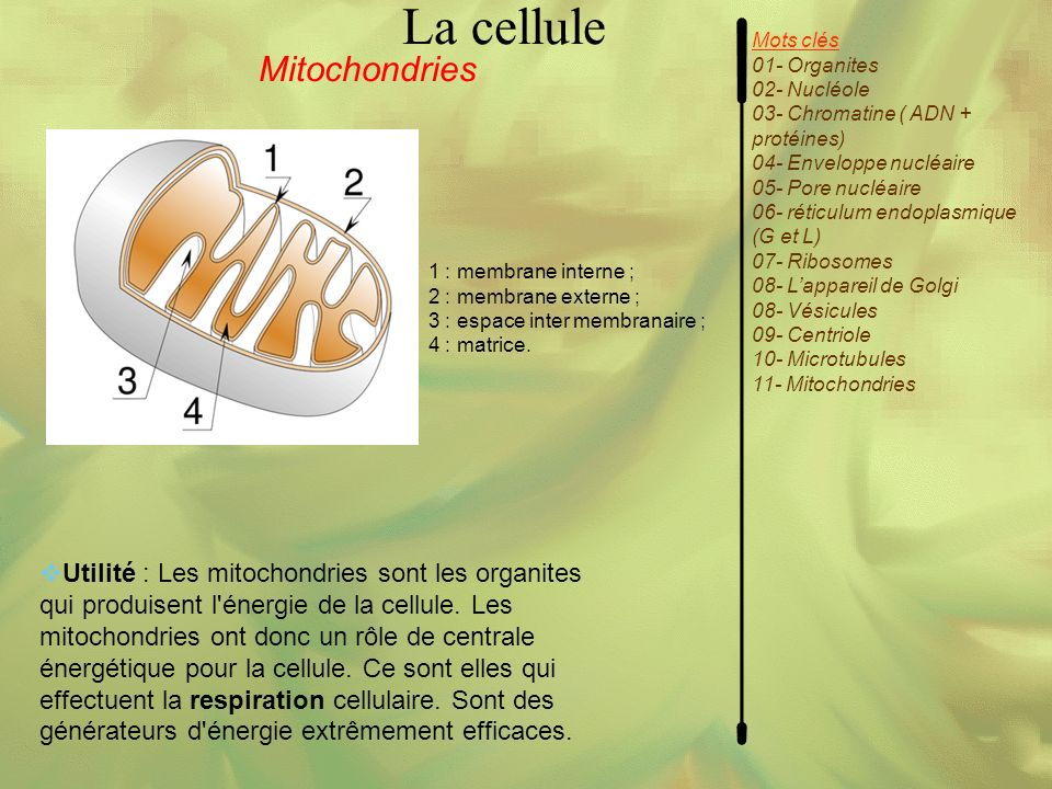 La cellule Mitochondries
