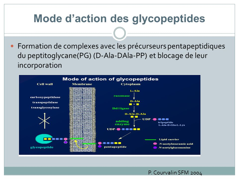Mode d'action des glycopeptides