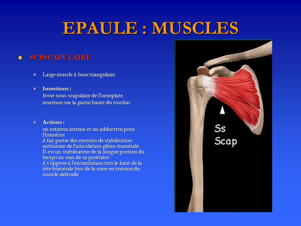 EPAULE : MUSCLES SUBSCAPULAIRE Large muscle à base triangulaire