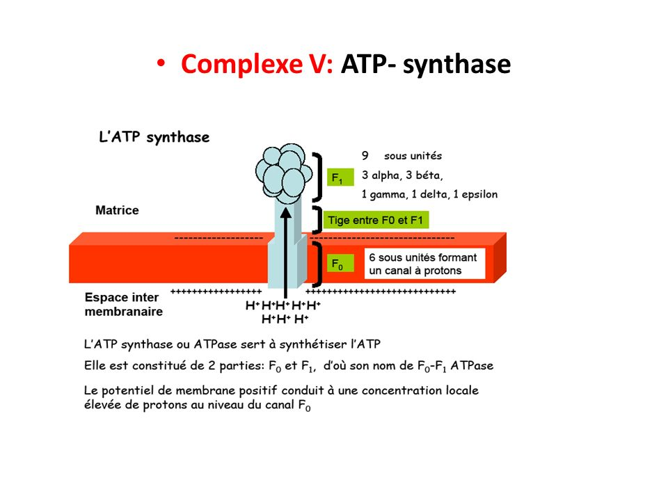 Complexe V: ATP- synthase
