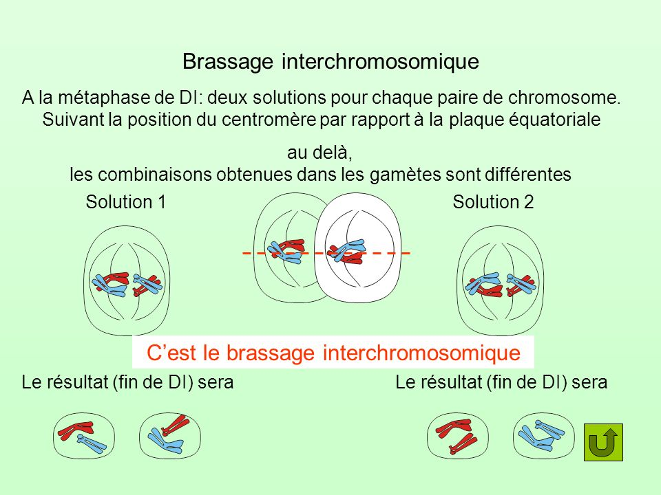 Brassage interchromosomique