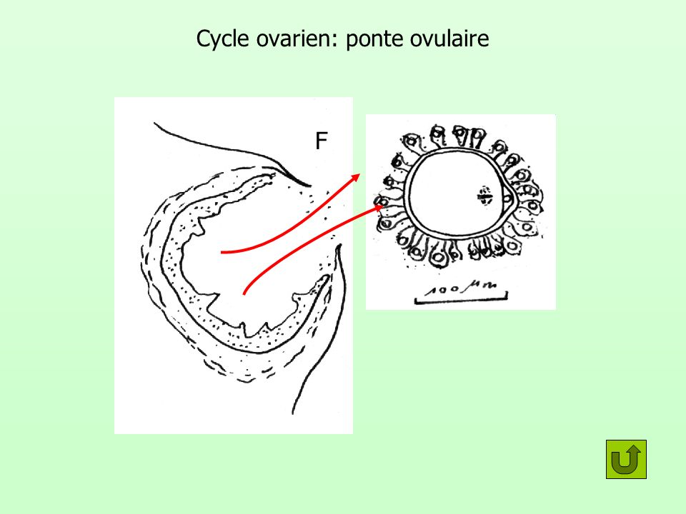 Cycle ovarien: ponte ovulaire