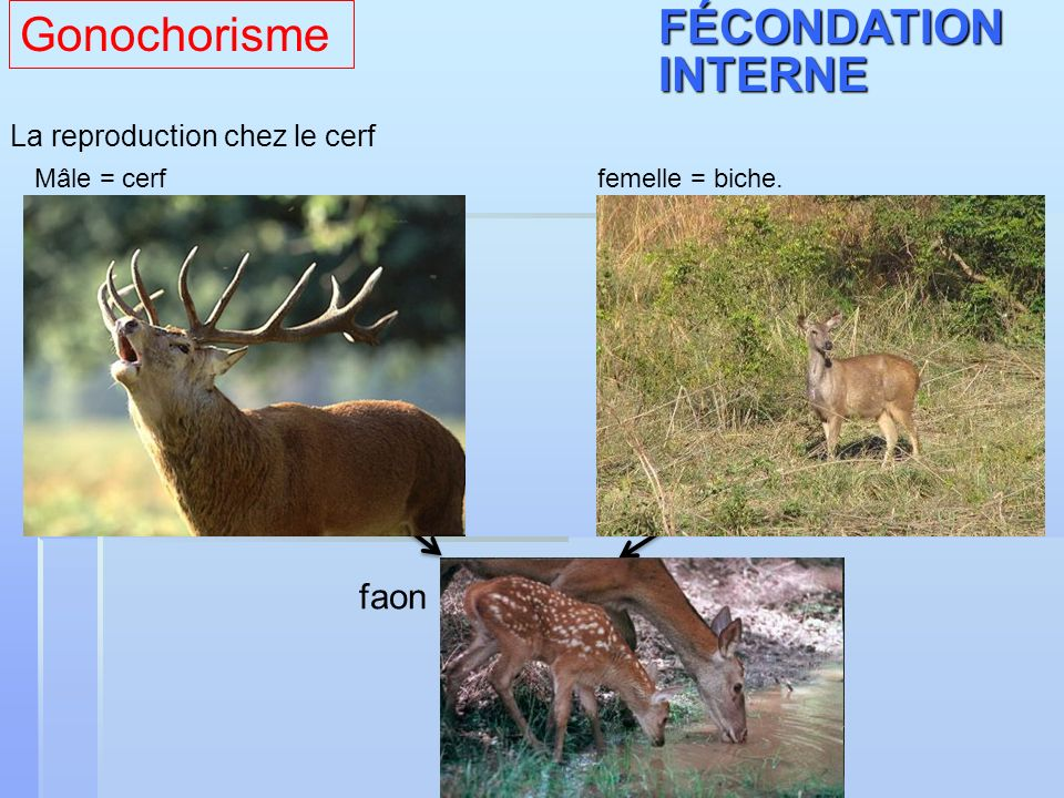 Gonochorisme FÉCONDATION INTERNE faon La reproduction chez le cerf