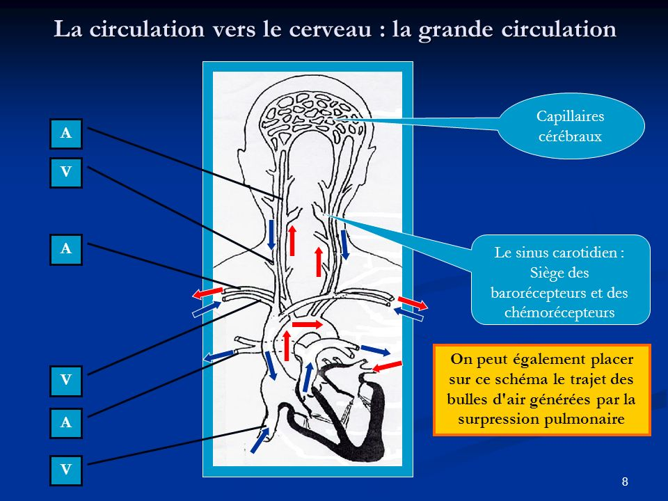 La circulation vers le cerveau : la grande circulation