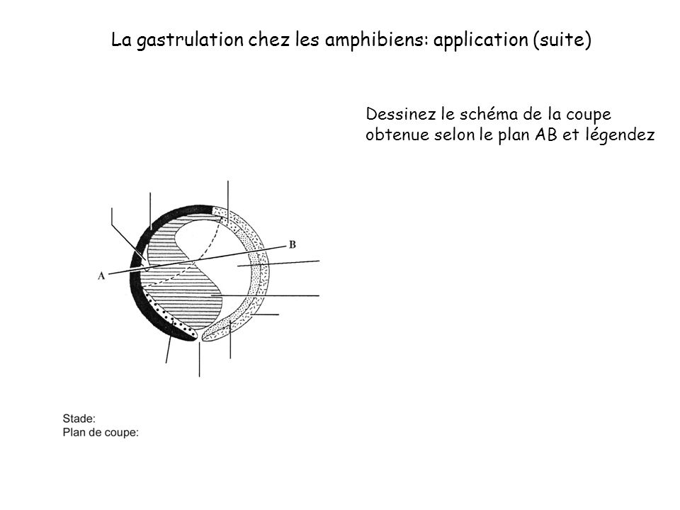 La gastrulation chez les amphibiens: application (suite)