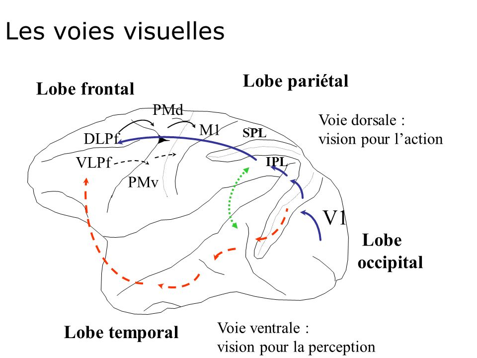 Les voies visuelles V1 Lobe pariétal Lobe frontal Lobe occipital