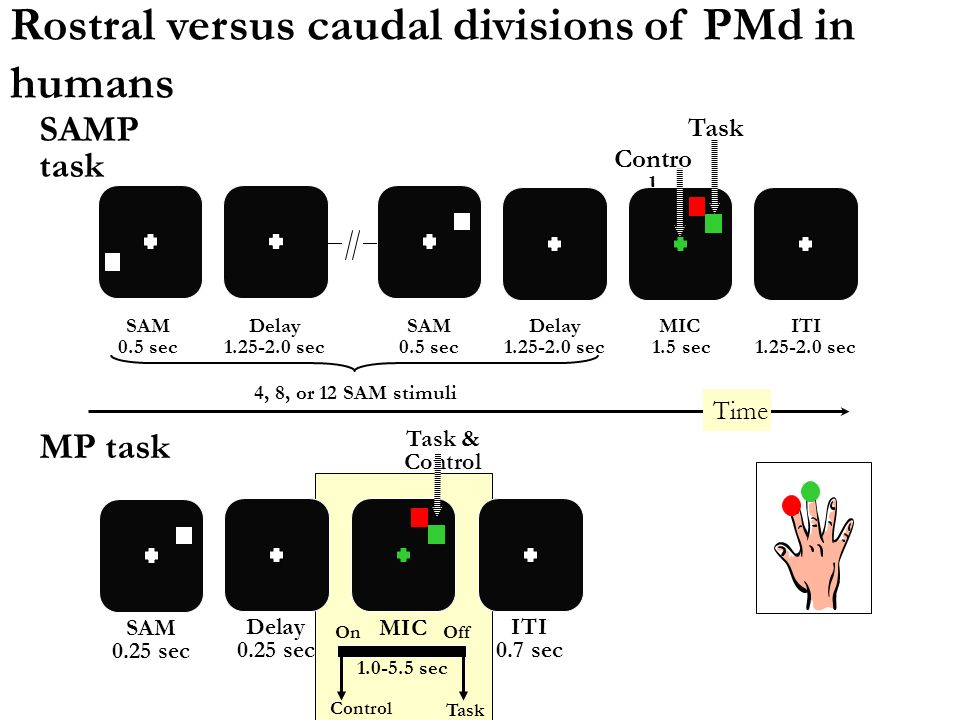 Rostral versus caudal divisions of PMd in humans