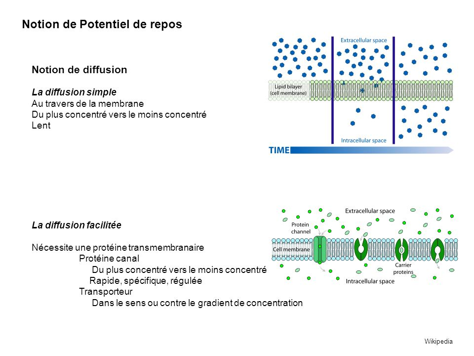 Notion de Potentiel de repos