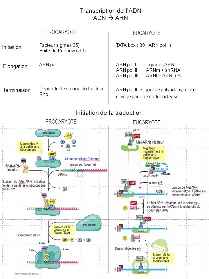 Transcription de l'ADN ADN  ARN