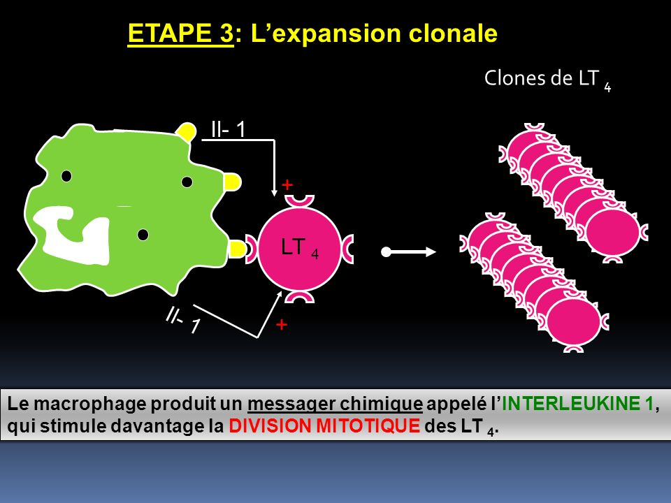 ETAPE 3: L'expansion clonale