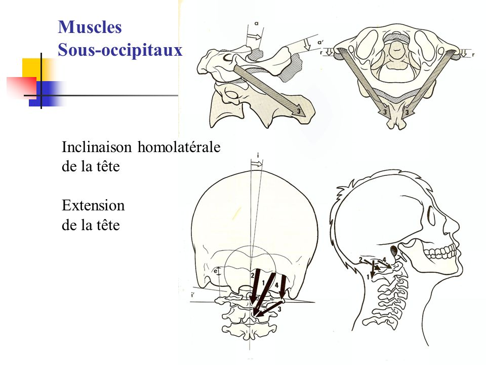 Muscles Sous-occipitaux Inclinaison homolatérale de la tête Extension
