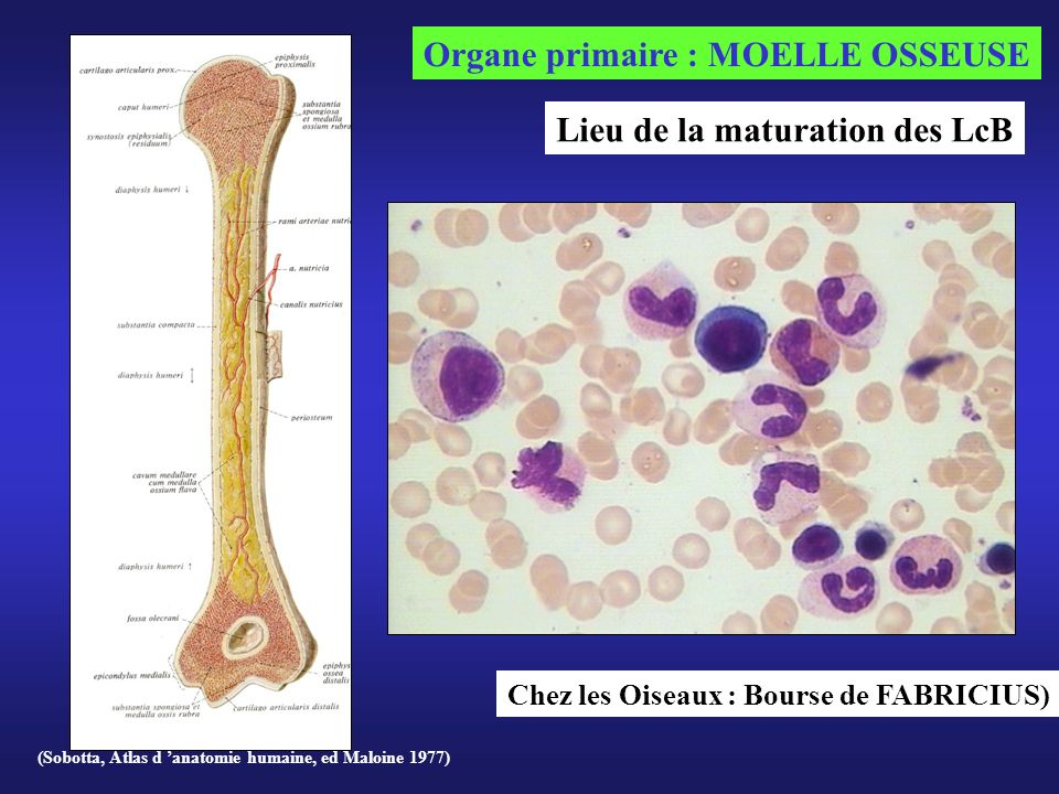 Organe primaire : MOELLE OSSEUSE