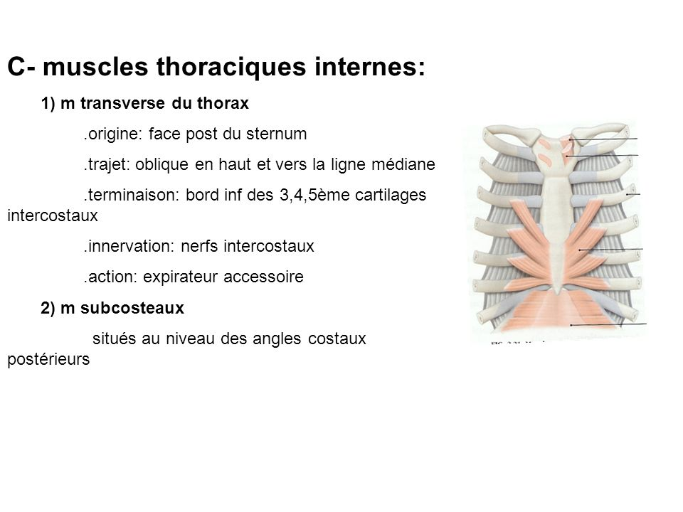 C- muscles thoraciques internes: