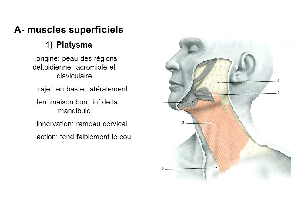 A- muscles superficiels