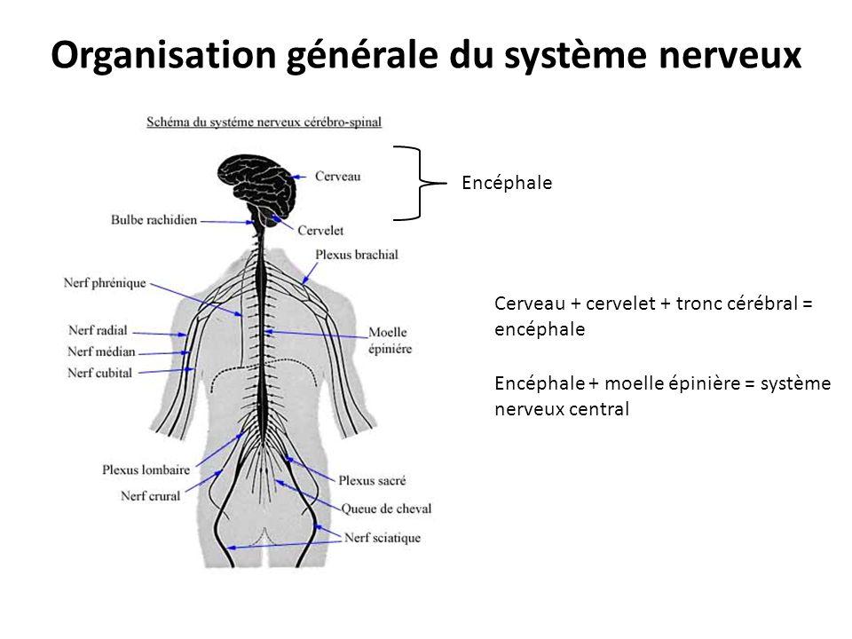 ANATOMIE ET PHYSIOLOGIE DU SYSTÈME NERVEUX - ppt video online ...