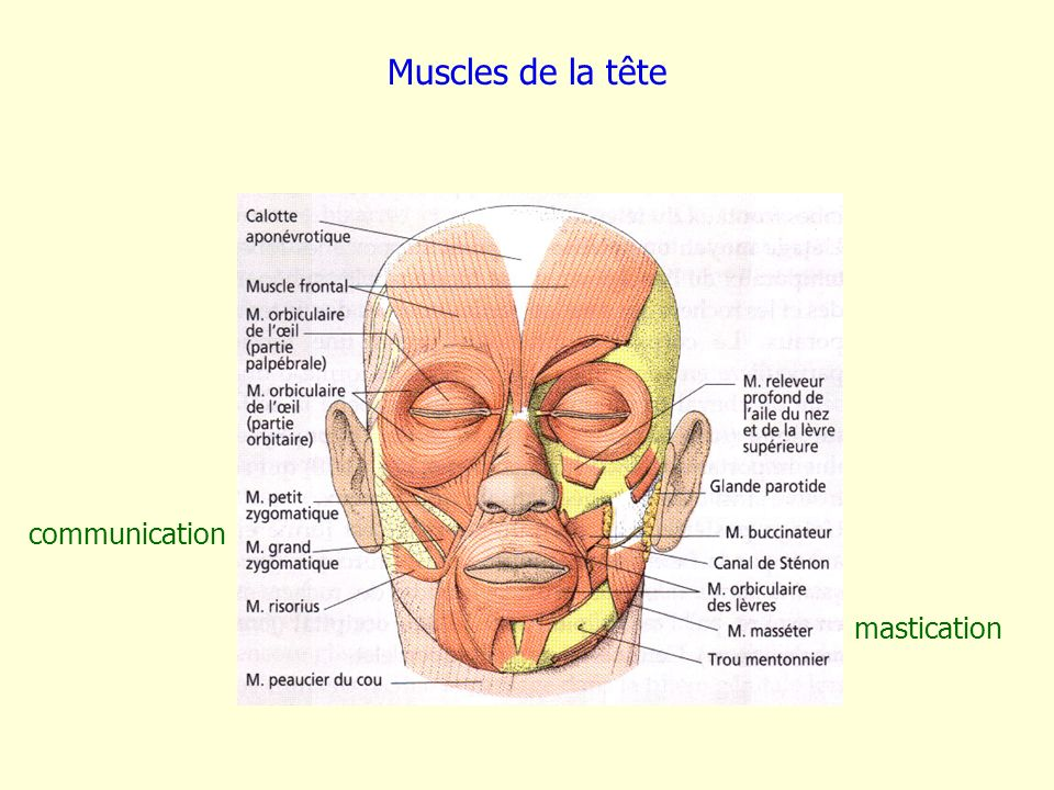 Muscles de la tête communication mastication